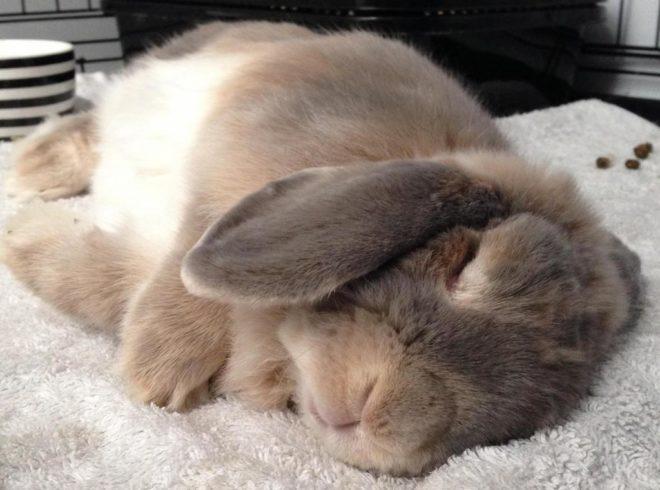 Кролик спит с закрытыми глазами