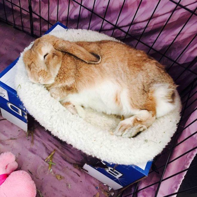 Кролик спит на боку