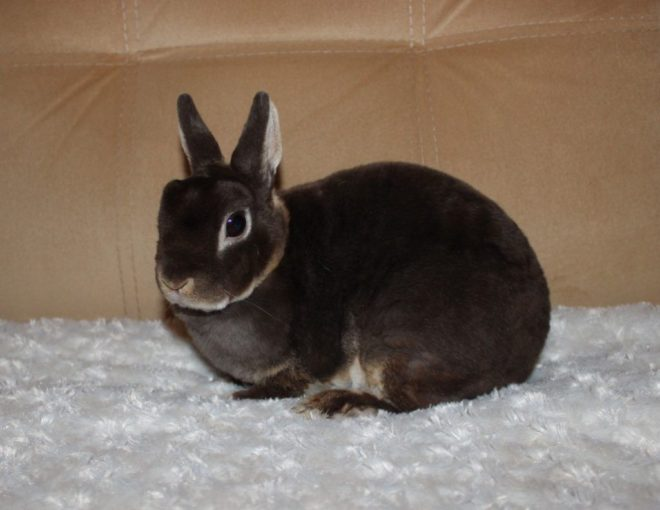 Кролик с гладкой шерстью
