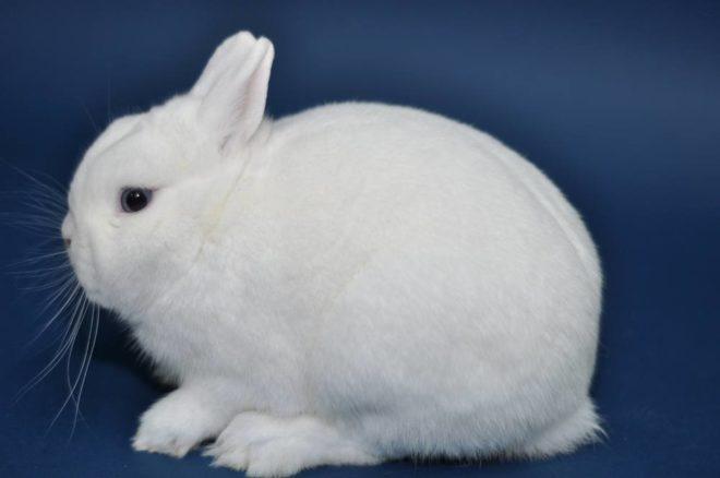 Декоративный кролик гермелин