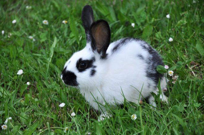 Кролик строкач на прогулке