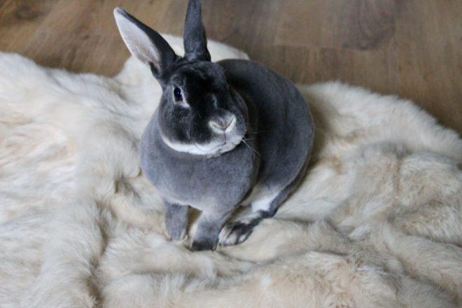 Содержание кролика рекс