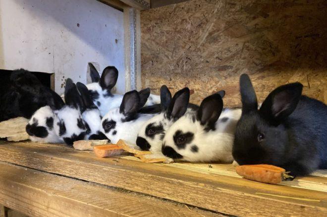 Кролики кушают морковку