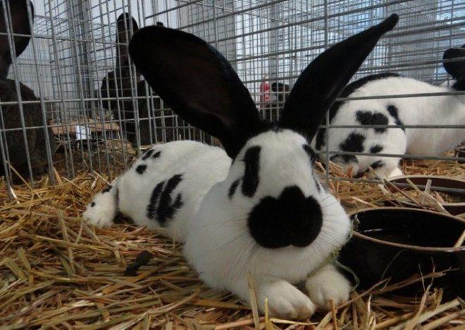 Кролик строкач в клетке