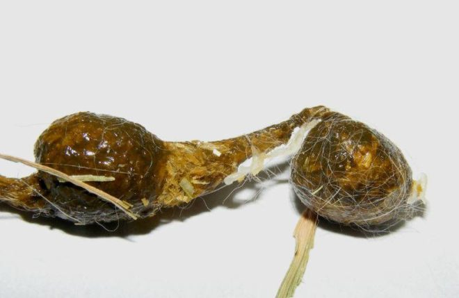 Симптомы глистов у кроликов