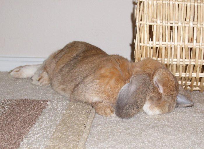 Кролик спит на полу