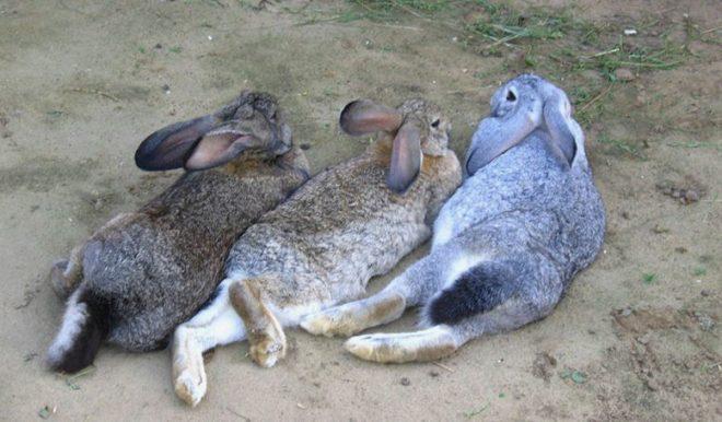 У кролика отнялись задние лапы