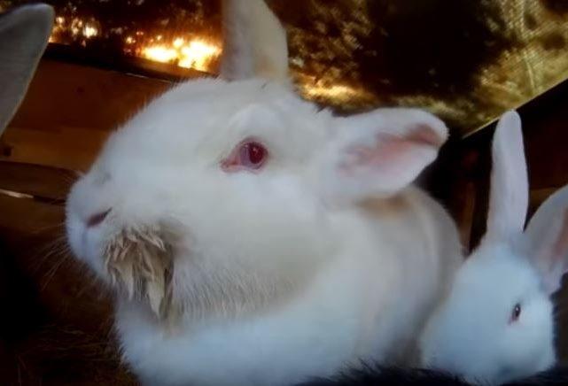 Обильное выделение слюны у кролика