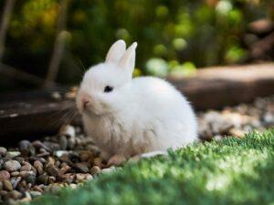 домашний кролик, декоративный питомец