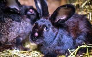 Миксоматоз у кроликов