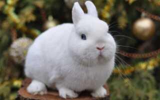 Гермелин Кролик